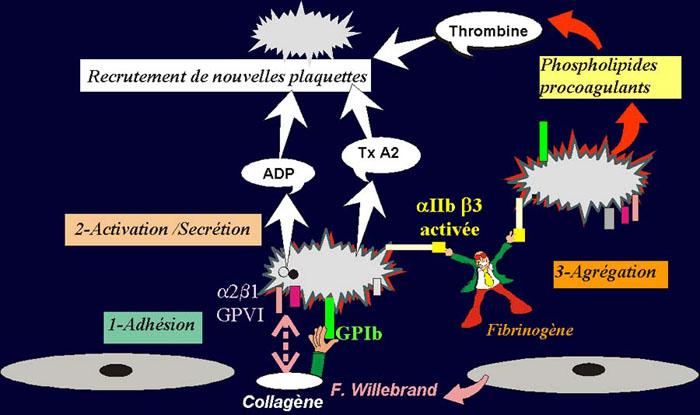 Primaire >> 07hemostase-primaire-etapes
